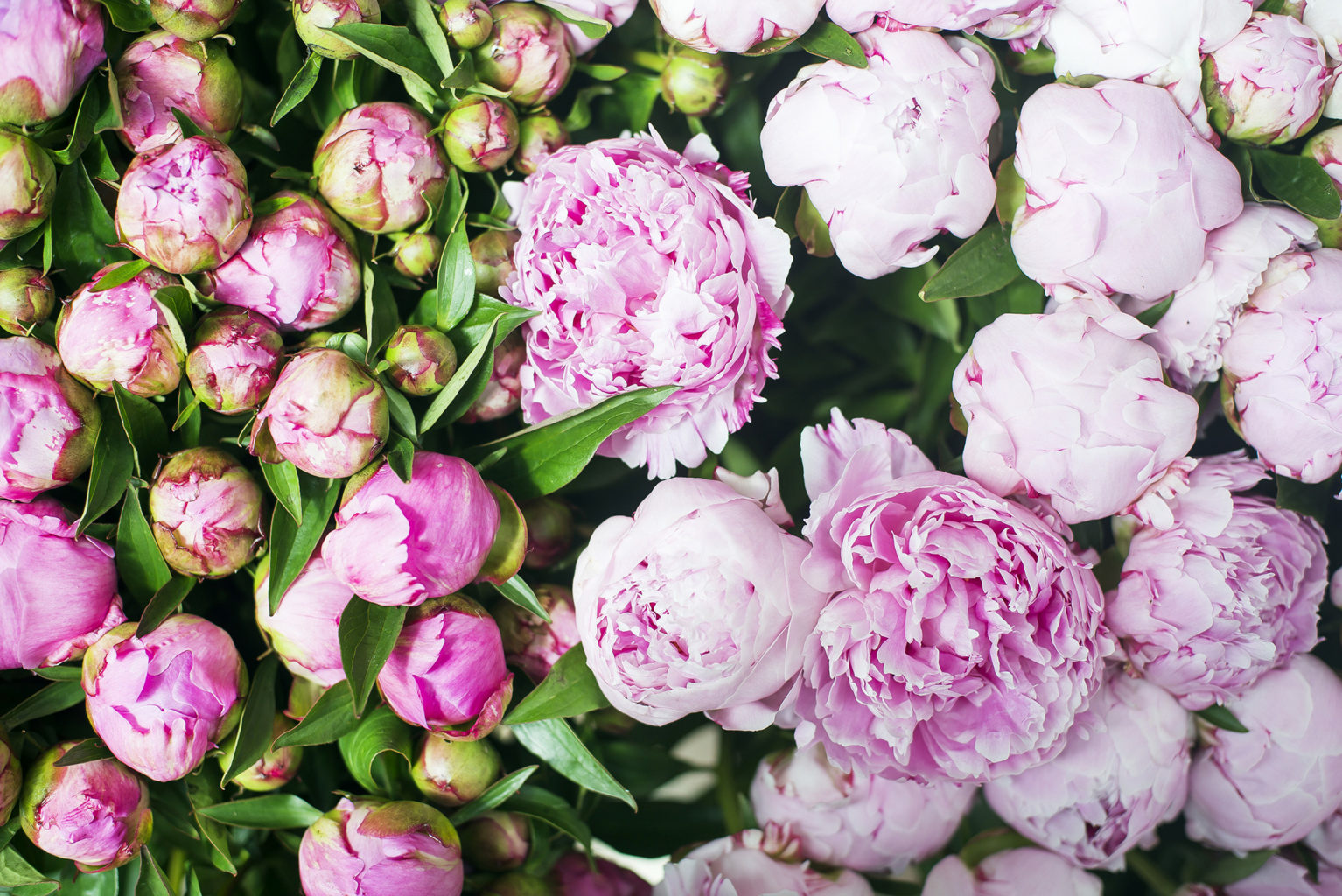 Peony Season in Paris
